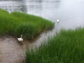 Swan Visitors