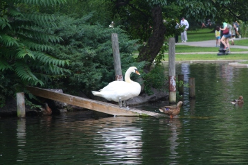 Swan in Boston Public Garen