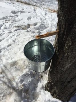 Dripping sap