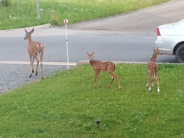 Deer visiting in the front yard.