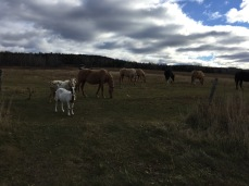 Pasture of animals on my run