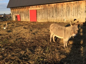 Wilber the friendly Donkey